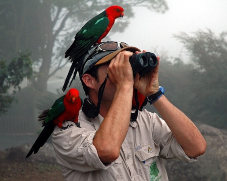 Alisterus_scapularis_-perching_on_a_man_with_binoculars-8